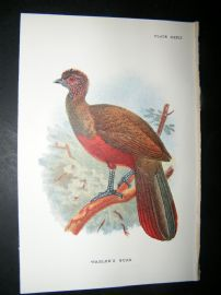 Allen 1890's Antique Bird Print. Wagler's Guan